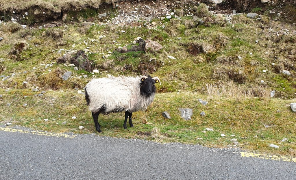Connemara sheep